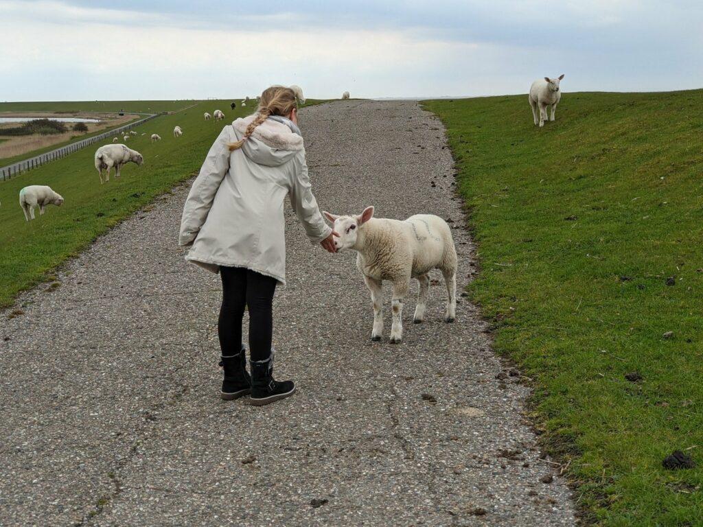 Schafe sind eigentlich sehr scheu. Dieses nicht.